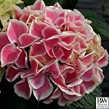 Edgy Hearts Picotee Hydrangea - Sun or Part Shade - Proven Winners