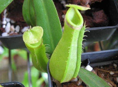 nepenthes-albomarginata-purple-green-var-giant-5-graines