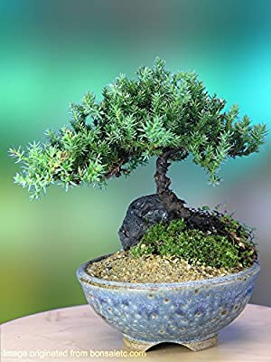 A 5+ Year Old Juniper Bonsai Tree in Japanese Setku Bowl from Tabletop Bonsai