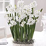 15 Ziva Paperwhites 14-15cm- Indoor Narcissus: Narcissus Tazetta: Nice, Healthy Bulbs for Holiday Forcing!!