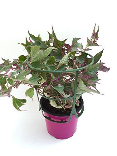 Image of Süßkartoffel Pflanze, Gemüsepflanze aus Nachhaltigem Anbau, Kräuterpflanze