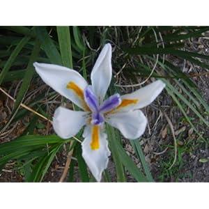 White Iris Plant