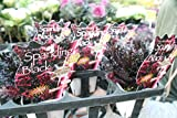 【花苗】【寄せ植え用に】 スパークリング光沢ハボタン5ポットセット 3号 【送料込価格】
