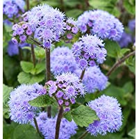 Flower Ageratum Tall Blue Planet D1835 (Blue) 25 Seeds by David's Garden Seeds