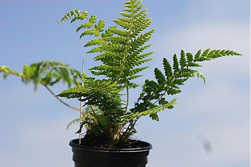 3-dicksonia-antarctica-starter-plants