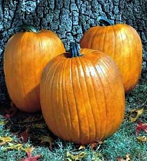 Buy Howden Biggie Pumpkin 15 Seeds – FREE SHIPPING FOR ANY ADDITIONAL SEEDS PURCHASED AND PAID WITH ONE PAYMENT
