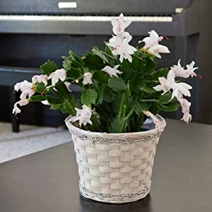Poinsettia Alternative - Christmas Cactus in White Washed Basket - Beautiful Blooming Live Plant Gift - Ships Express 2nd Day!