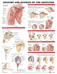 Anatomy And Injuries Of The Shoulder Anatomical Chart Poster 20 x 26in