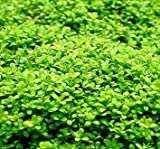 Wasserflora Kuba Zwerg-Perlenkraut