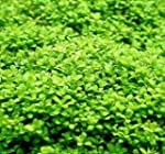 Wasserflora Kuba Zwerg-Perlenkraut /...