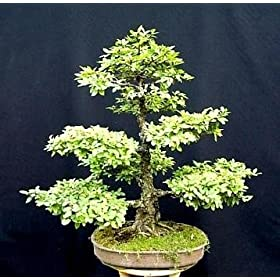 HOME AND GARDEN: Chinese Elm Bonsai 25 Seeds - Ulmus parvifolia