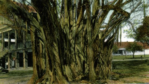 Key West, Florida, Banyan Tree - Fine-Art Gicl??e