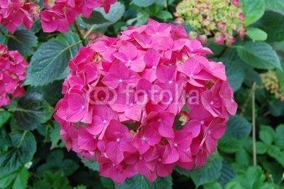 Wallmonkeys Peel and Stick Wall Decals - Hydrangea Rose Fushia - 18