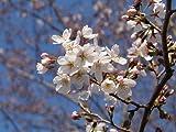 染井吉野桜盆栽  日本の花
