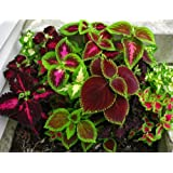 COLEUS - Improved RAINBOW MIXED -Ornamental Plant -Pack Of 50 Seeds By Seedscare India