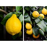 Meyer Lemon Tree, 1 to 2 feet