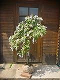 春の花木☆アセビ樹高1.0m前後 可愛らしい花です♪