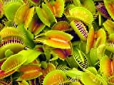 Roots & Shoots - Grow Your Own Venus Fly Trap Plant - Catches & Eats!