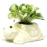 Turtle Money Plant to Your Mother - Tortoise Ceramic Planter 1, Money Plant Bunch 1, Mother Day Wishes, Mothers Day Gifts, Send Mothers Day Combo, Mothers Day Combo online, Mothers Day Present, Home décor Items