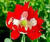 Fiore - Papavero - Papavero - Victoria Cross - 4000 Seme