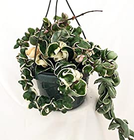 Variegated Hindu Rope Plant - Hoya - Exotic/Easy to Grow House Plant