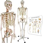 Anatomical Skeleton Model w/ Stand fo...