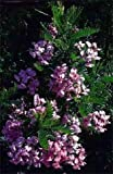 Grow Your Secret Garden Cape Lilac, Tree In A Hurry Seeds