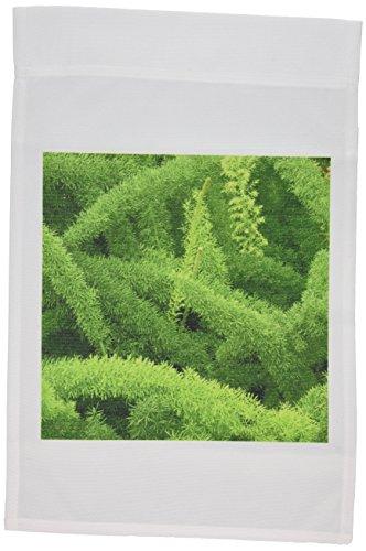 3drose-fl-83276-1-foxtail-helecho-asparagus-densiflorus-myers-na01-aje0125-adam-jones-bandera-de-jar