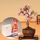 桜盆栽:旭山桜(信楽焼鉢)と道具セット