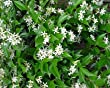 Jasmine Confederate -Favorite Intensely Fragrant Easy to Grow Vine Jasmine Starter Plants 6 Pack