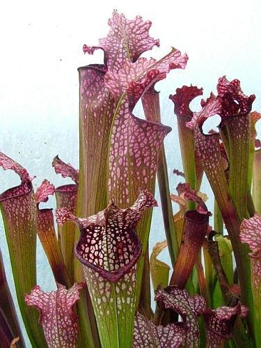 Exotic Plants Sarracenia x excellens pink big form - Schlauchpflanze Kultivar pink big form - 5 Samen