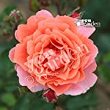 Climbing Rose 'Ali Baba' bare root