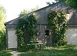 Beer Hops 10 Seeds- Humulus lupulus - Exotic!