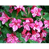 Pink Sonic BloomTM Weigela - Hot Pink, Everblooming - Proven Winners