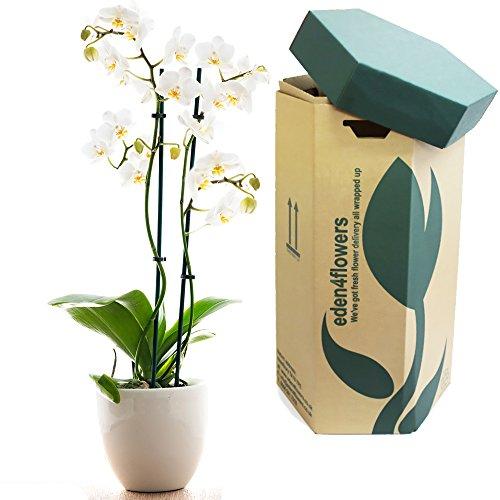eden4flowers-white-phalaenopsis-orchid-plant-flowering-plants-delivered