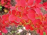SunjoyTM Tangelo Berberis thunbergii- Outside or Bonsai - Proven Winners - 4