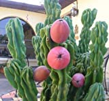 Cereus peruvianus monstrosus 10 seeds * cactus * edible fruit * bizarre