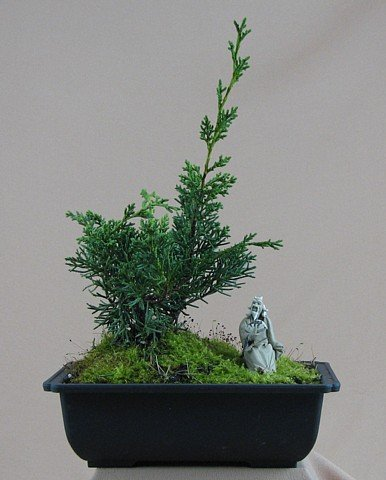 Buy Shimpaku Chinese Juniper Bonsai + Mudman + Live Moss