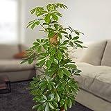Schefflera arboricola Nora - 1 plant