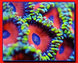 Candy Apple Zoanthids Coral - 5 polyps