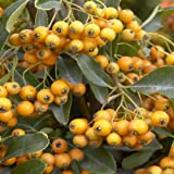 Pyracantha Golden Charmer - 2 shrubs