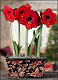 Amaryllis Ferrari Trio in a Berries and Leaves Box - Pre-Planted - Free Shipping!