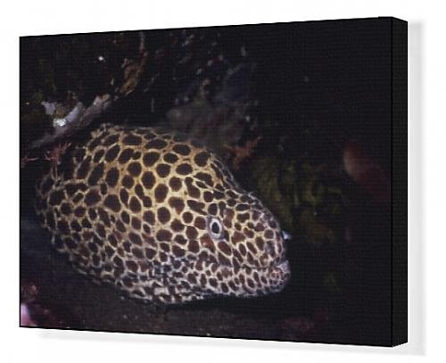 Canvas Impress of Gymnothorax favagineus, honeycomb moray eel