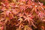 Acer palmatum 'Wilson's Pink Dwarf' (Japanese maple) 4 ltr pot