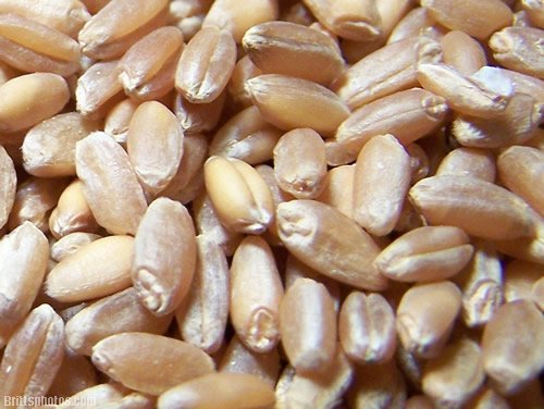 Food To Live Hard Red Wheat Seeds (15 Pounds / Lbs) (Wheatgrass) For Sprouting