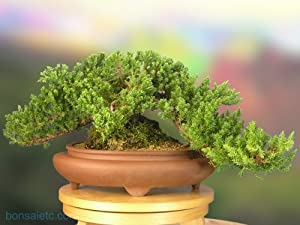 A good size Juniper Bonsai - about 10 Year Old Tree - Come with a Bonsai Care DVD!