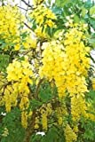 15 GOLDEN SHOWER TREE Gold Rush Yellow Cassia Fistula Flower Seeds *Comb S/H