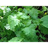 100 Green Shiso Seeds (Perilla Frutescens) Asian Herb