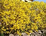 Forsythia x intermedia 'Lynwood Variety' (forsythia 'Lynwood Variety') 4 ltr pot
