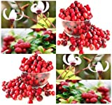 20 American Cranberry, Vaccinium macrocarpon, Seeds LOW GROWING FRUITS EXCELLENT GROUND COVERS